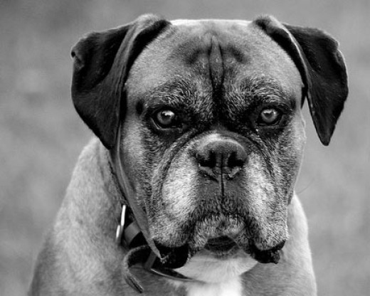 Old dogs are prone to diabetes   (Flickr Image by monkeyc.net)