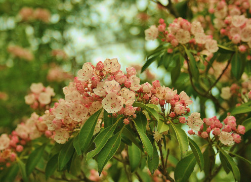 Mountain laurel and other rhodos prefer acidic soil.