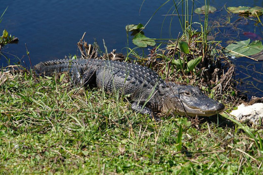 You will definitely come across wild alligator, amongst many other creatures when in the Everglades