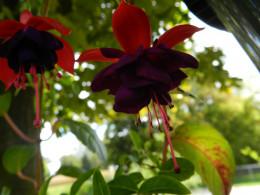 Fuchsia blooms in September