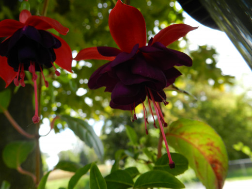 Fuchsia blooms in September