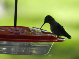 Hummingbird at feeder which is next to a fuchsia plant.