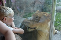 Talking to the lioness at the zoo