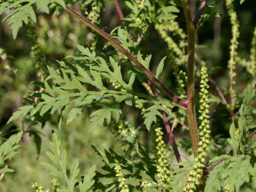This is a picture of Ragweed.  Ragweed is one of the most common pollen allergies in the united States.  It is estimated that 20% of people living in the U.S. are allergic to this prolific weed.