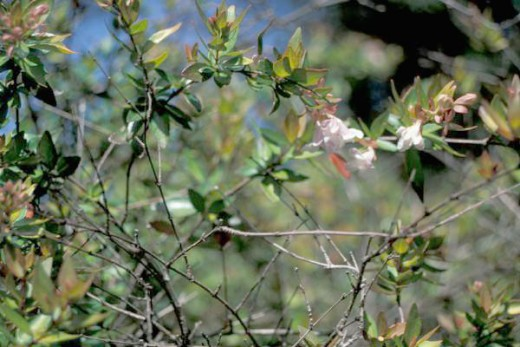 Abelia x grandiflora, a decidious hybrid that was first raised in Italy in 1886