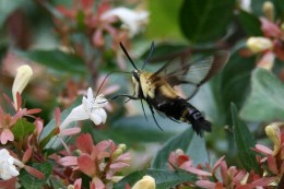 A bumblebee moth sampling an Abelia flower.