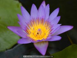 The Purple Lotus Flower