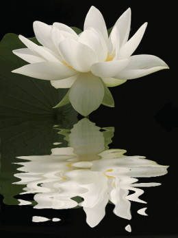 Lotus Flower Reflections from Bahman Source: flickr.com