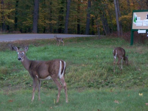 3 Deer along the roadside near Pine Mountain