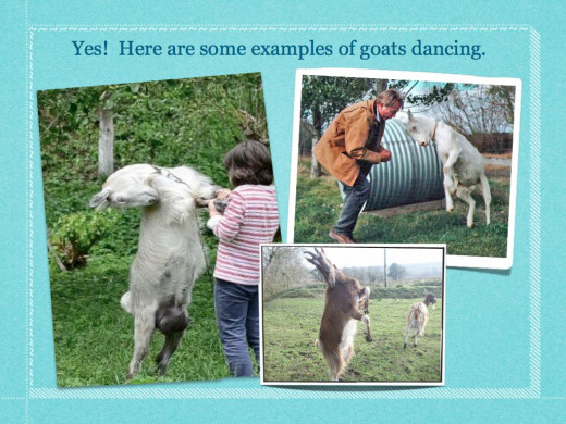 Lots of goat handlers enjoy dancing with their goats.