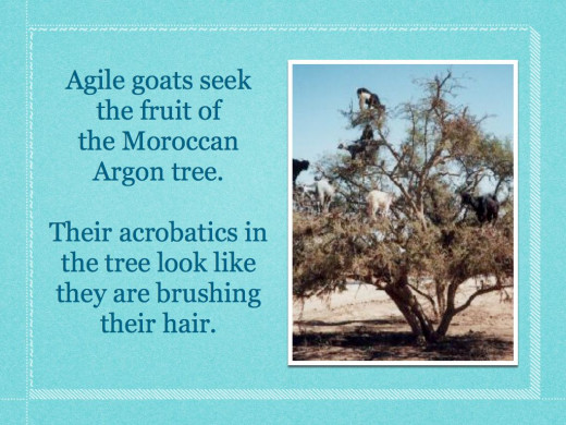 The incredible tree climbing goats of Moroco.