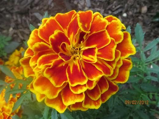A single marigold