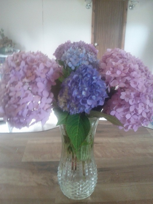 "These hydrangeas in shades of purple and blue all came from the same ""neglected"" bush."