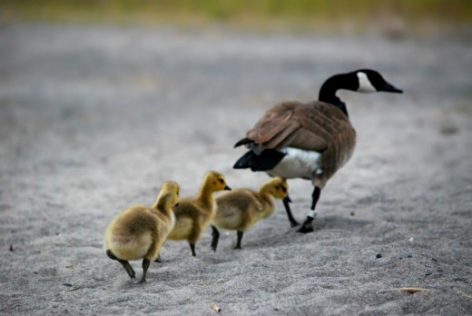 The mother goose and her ducklings could cross a road.