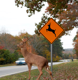 Deer ready to cross the road infront of a Deer Crossing sign.