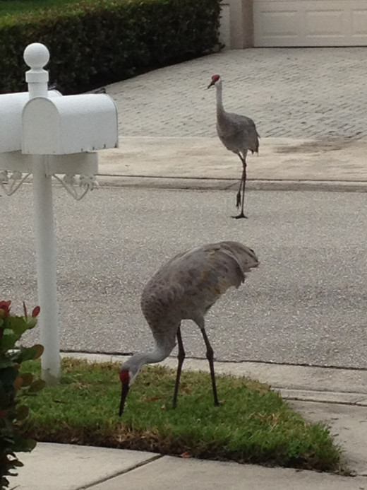 These birds are frequent visitors to our front yard.  They stroll the neighborhood throughout the day.