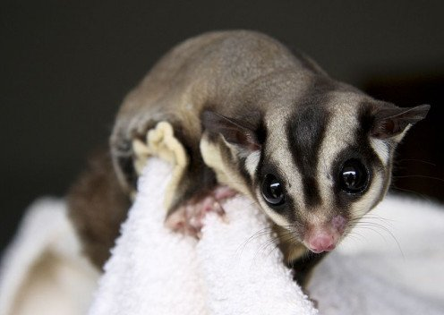 Sugar Glider posing for the camera.