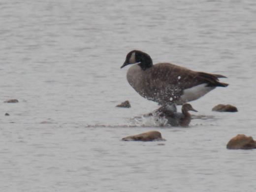 Mallard and Canada Goose