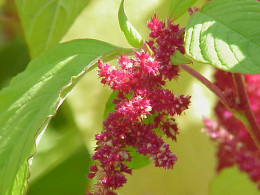 Species: Amaranthus tricolor