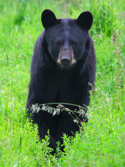 Black Bear Kill that Netted a Perfect Pelt