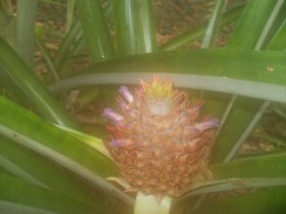 A budding pineapple.