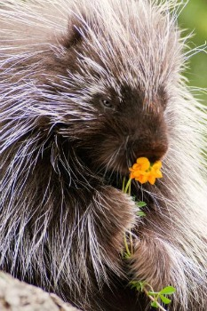 """We, porcupines like flowers, we smell and eat them too. There beauty and fragrance we can't resist, could you?"""