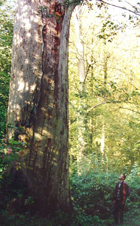 Oak, Bonsecours Forest, northern France