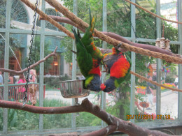 Lovebirds at the summer exhibit at the Bellagio hotel's Conservatory here in Las Vegas. Awwww. Hanging around upside down, they looked like they were kissing, so I snapped a picture!