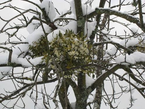 Mistletoe during winter in France.