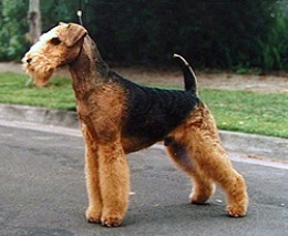 Airedale Terrier, a medium-to-large dog.