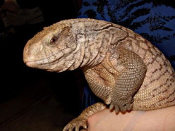 Savannah Monitors as pets: friend or foe?