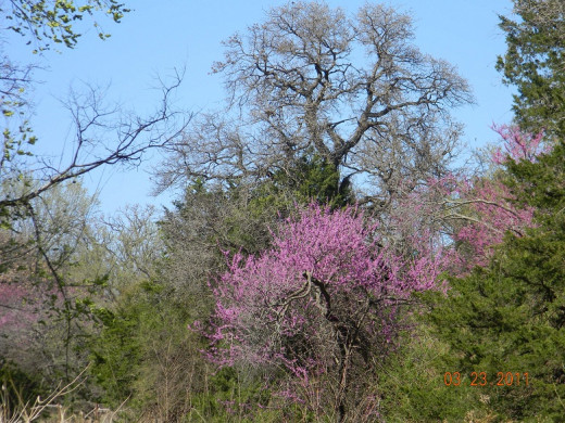 Ah, Spring!  The Redbuds, our state tree, bloom even before the tornado season starts.