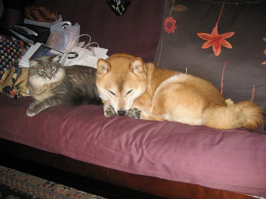 The Shiba Inu is one of the dog breeds that does not bark much.