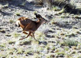 Young Mule Deer racing to keep up and make it over the arroyo.