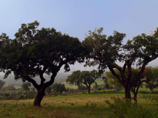 Cork oak trees