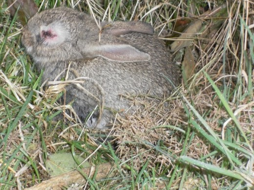 Rabbits with suspected myxomatosis must be isolated and taken to the vet