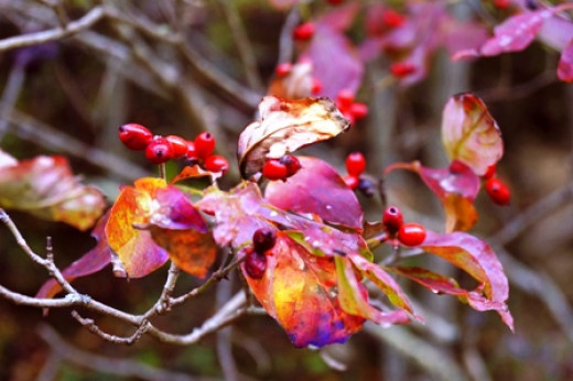 Dogwood leaves are a fiery red in the fall.  Their berries add to the color show.