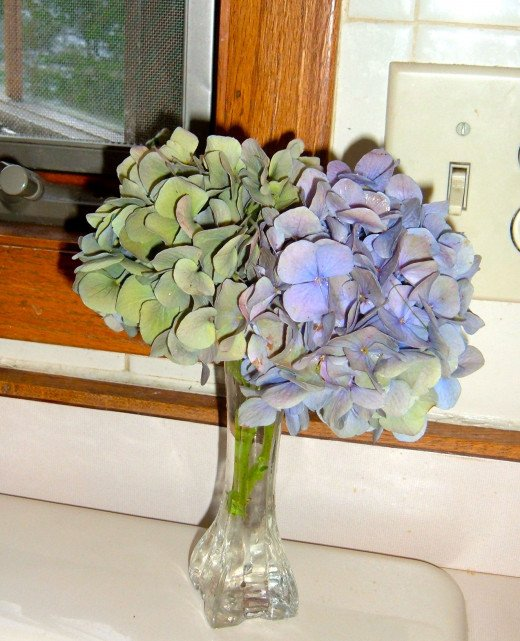 Dusty colored Hydrangea create a soft bouquet on my kitchen counter.