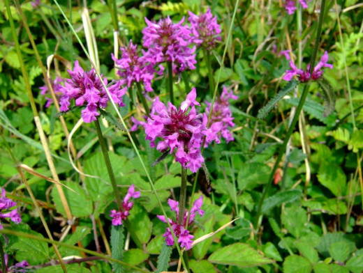 Wood Betony (Stachys officinalis) used for the relief of toothache and many other ailments