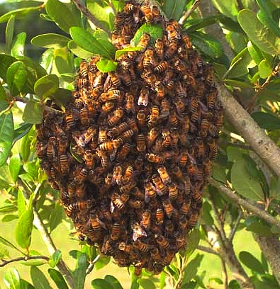 Bee swarms that settle can be very hard to remove and unfortunately in most cases the bees will have to be killed as they carry diseases and bee keepers don't want them.