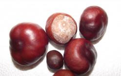 Common horse chestnut (Aesculus hippocastanum L.)