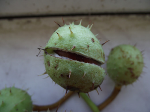 Fully ripe horse chestnut fruit with the seed seen inside.