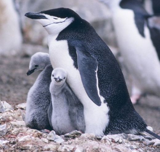 This is a proud papa chinstrap penguin.
