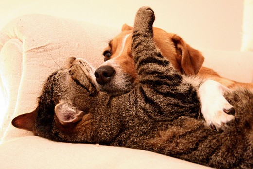 Even scent hounds can like cats.