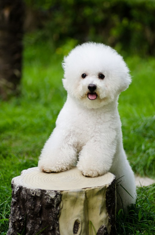 A bichon looking cute.