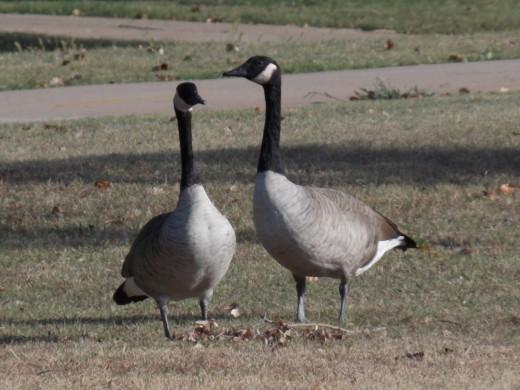 Resident Canada Goose pair