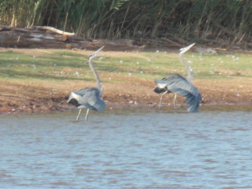 These Juvenile Great Blue Herons are Courting