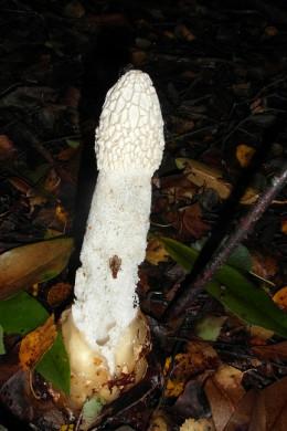 Stinkhorn mushroom