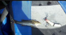 The smallest Large Mouth Bass I have ever caught with a Silver Rapala J-5