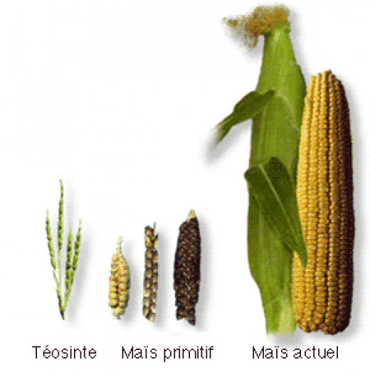 Showing the evolution of corn's ancient parent Teosinte to what we regularly see now